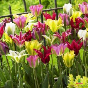 Tulips Viridiflora Mix