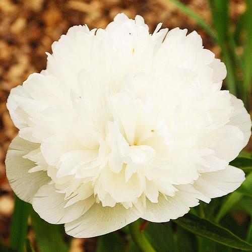 Pfingstrose Alba Plena (Herbaceous)