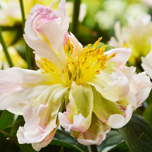 Pfingstrose Green Lotus (Herbaceous)
