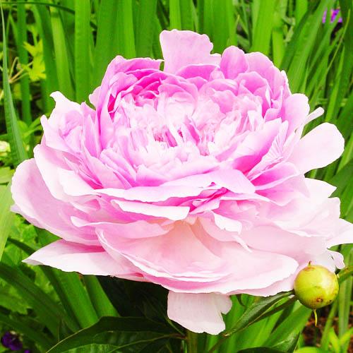 Pfingstrose Pink Giant (Herbaceous)