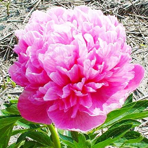 Pfingstrose Rosea Plena (Herbaceous)