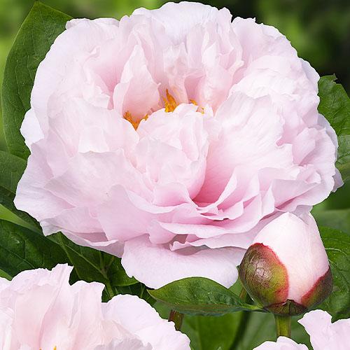 Pfingstrose Blushing Princess (Herbaceous)