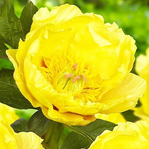 Pfingstrose Garden Treasure (ITOH )