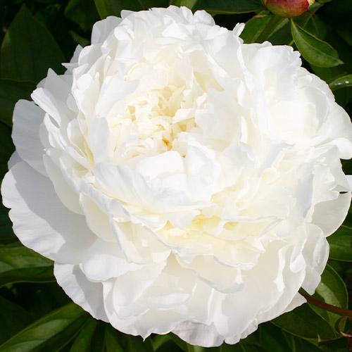 Pfingstrose Jubilee (Herbaceous)
