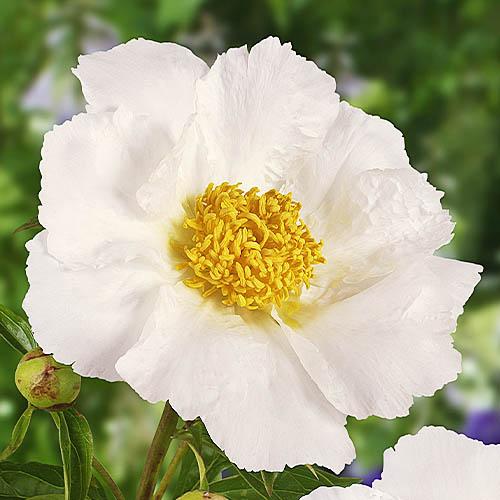Pfingstrose Krinkled White (Herbaceous)