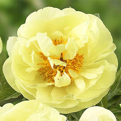 Pfingstrose Lemon Chiffon (Herbaceous)