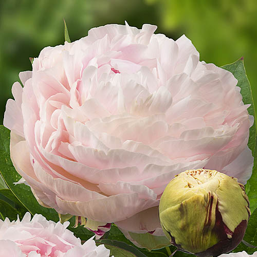Pfingstrose Madame Edouard Doriat (Herbaceous)