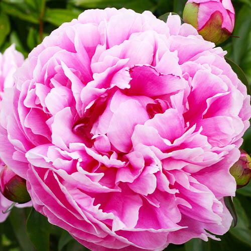 Pfingstrose Margaret Truman (Herbaceous)