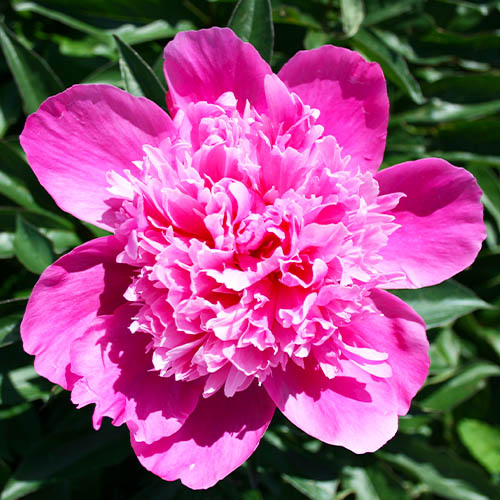 Pfingstrose Pink Cameo (Herbaceous)