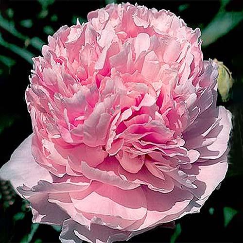 Pfingstrose Pink Parfait (Herbaceous)