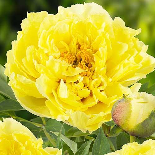 Pfingstrose Yellow Crown (ITOH )