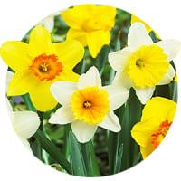 Apodanthus Daffodils and Narcissus