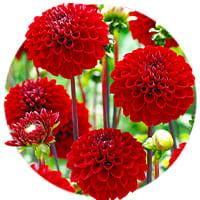 Ball Dahlias