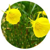 Botanical Daffodils and Narcissus