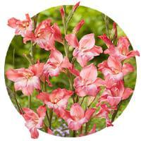 Botanical Gladiolus