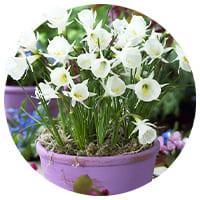 Bulbocodium Daffodils and Narcissus