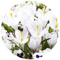 Crocus Chrysanthus (Snow Crocus)