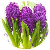 Cut-Flower Hyacinths