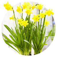 Cyclamineus Daffodils and Narcissus
