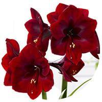Dark-Red Amaryllis