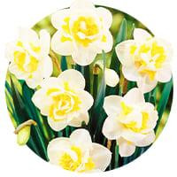 Double Daffodils and Narcissus