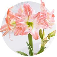 Double Flowering Amaryllis