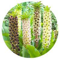 Eucomis (Pineapple Lilies)