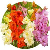 Fringed Gladiolus