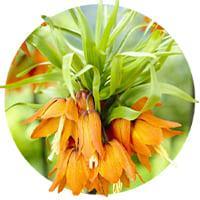 Fritillaria Crown
