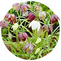 Fritillaria Meleagris