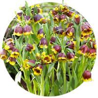 Fritillaria Species