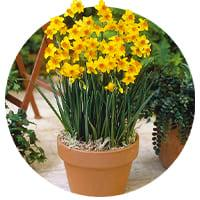 Indoor Daffodils and Narcissus