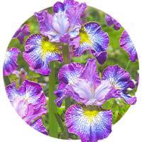 Iris Siberica (Siberian)