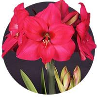 Large Flowering Amaryllis
