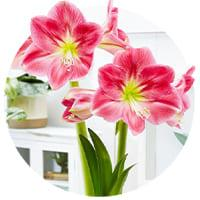 Single Flowering Amaryllis