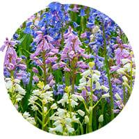 Small-Flowering Hyacinthoides (Bluebell)