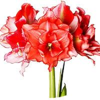 South African Amaryllis