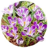 Spring Flowering Crocuses