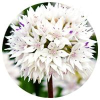 White Alliums