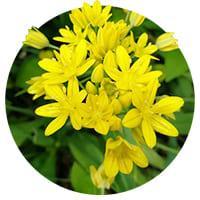 Yellow Alliums