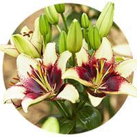 Bi-Color Lilies
