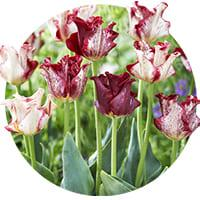 Crown (Coronet Tulips)