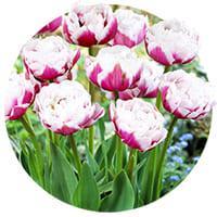 Double Early Tulips