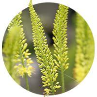 Eremurus (Foxtail Lily)