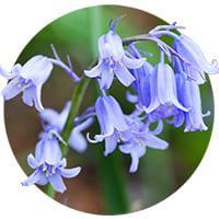 Hyacinthoides Hispanica (Bluebell)
