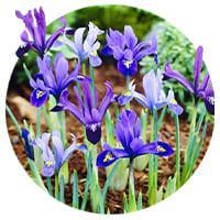 Iris Reticulata (Reticulated Iris)