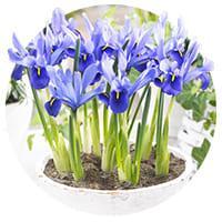 Iris Species