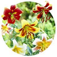 OT Hybrid Lilies